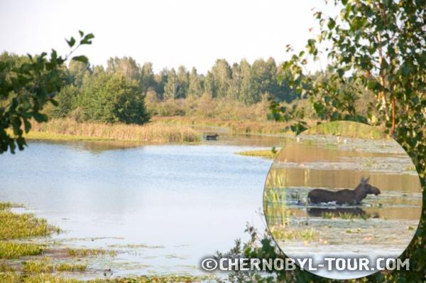 Лось у реки Припять